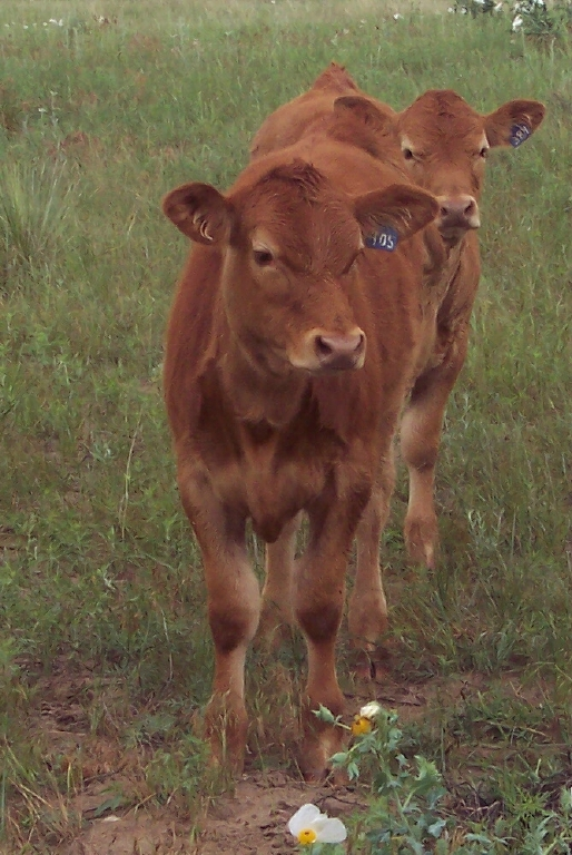 Red Angus calves on the Cook Ranch.