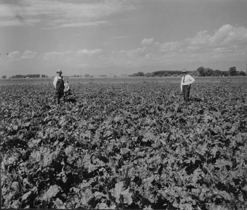 Great Western Sugar beet farmers in 1936