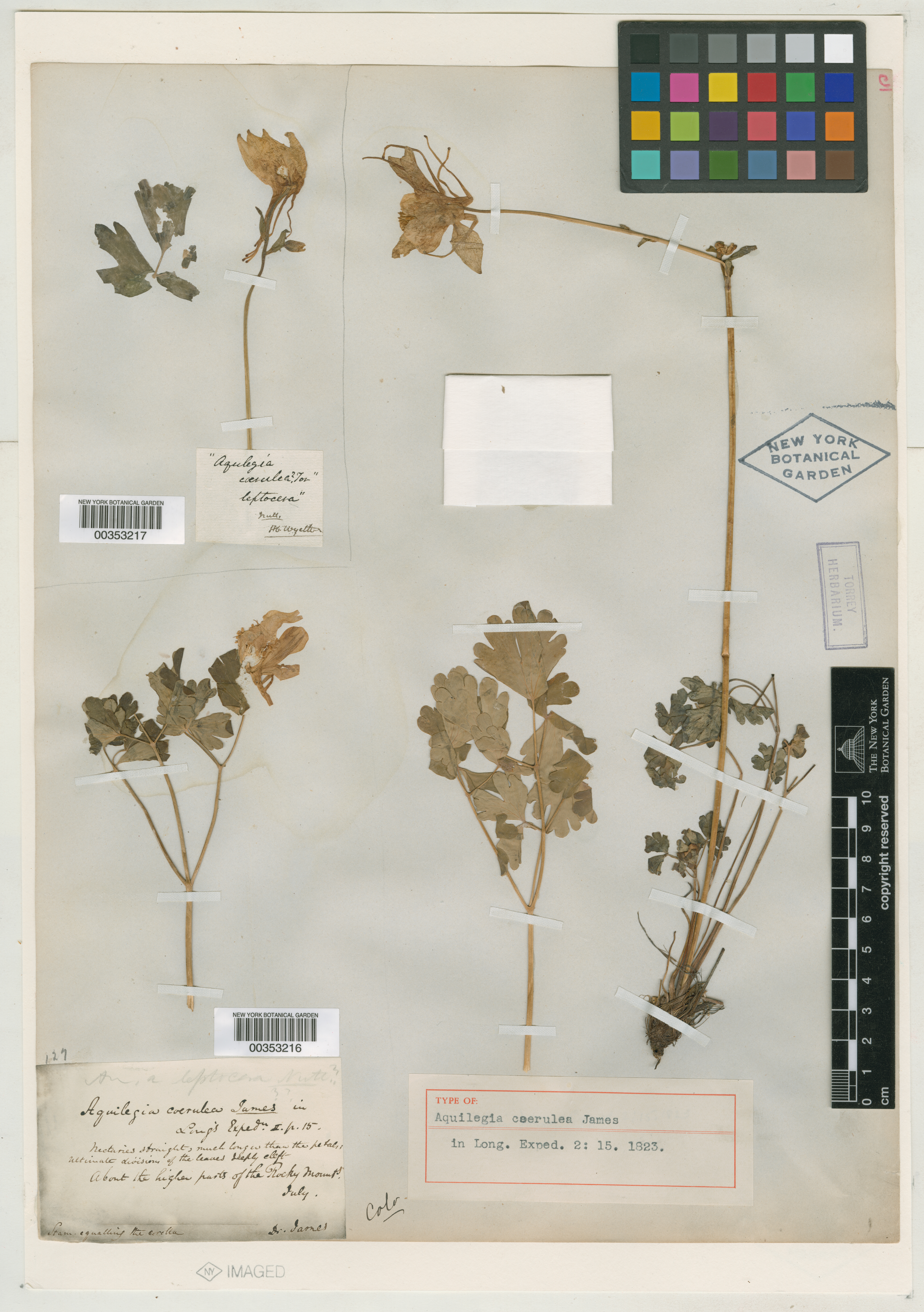 "Image of the specimen page for Edwin James's specimen of Aquilegia coerulea James from New York Botanical Garden. This image shows dried leaves, roots, and stems of the plant, carefully taped to a page which also has a handwritten note by James, identifying the plant, as well as a ruler showing the plant sample sizes in centimeters. The page is stamped ""New York Botanical Garden."""