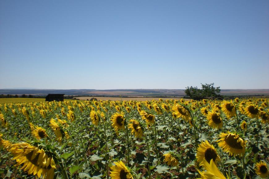 A sunflower field on the Allen Family Homestead.