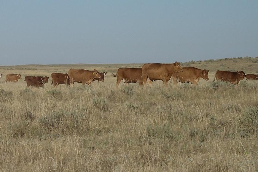 Cattle on the Cook Ranch.