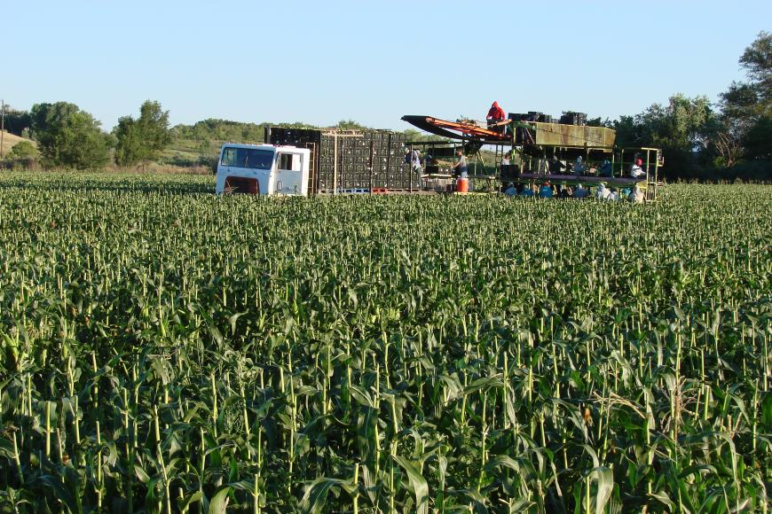 "Harvesting ""Olathe Sweet"" sweet corn on the Westesen Farm & Ranch."